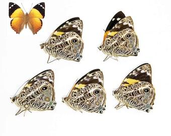 FIVE (5) Smyrna blomfieldia - The Blomfild's Beauty, Dry-Preserved Specimens, Entomology Taxidermy Lepidoptera Butterflies