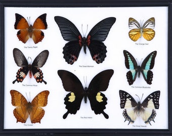 Eight Framed Butterflies | Assorted Designs and Species | Mounted in a Wall Hanging Frame, Taxidermy Home Decor, 12.5 x 10 inches