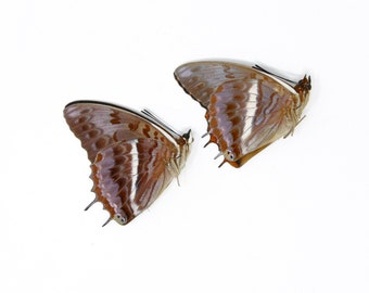 TWO (2) The Western-Red Charaxes (Charaxes cynthia) Dry-Preserved Specimens, Entomology Taxidermy Lepidoptera Butterflies