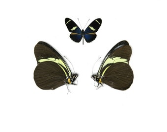 2 x The Sara Longwing   Heliconius sara   Dry-Preserved Unmounted Butterfly Specimens A1