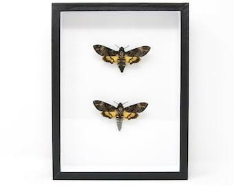Framed Pair of Deaths Head Hawk Moths, Real Spread Specimens A1   Acherontia atropos, Museum Entomology Box Frame   12x9x2 inch (#DH09)