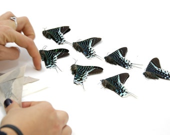 TEN (10) The Green-banded Urania Butterflies | Urania leilus | Ethical Dry-preserved Unmounted Specimens