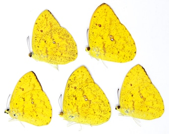 FIVE (5) The Apricot Sulphur Butterflies   Phoebis argante   Ethical Dry-preserved Unmounted Lepidoptera Butterfly Specimens