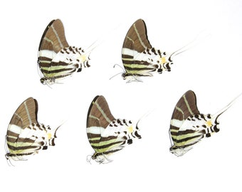 Five (5) Giant Swallowtail Butterflies | Graphium androcles | Ethical Dry-preserved Unmounted Butterflies for Artistic Creation