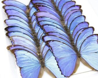 Giant Blue Morpho   WINGS SPREAD   Morpho didius   A1- Set Butterfly Specimen Pinned