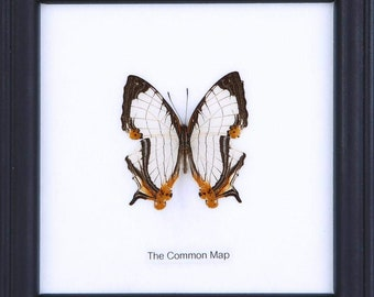 The Common Map Butterfly (Cyrestis thyodamas) | Real Butterfly Mounted Under Glass, Wall Hanging Home Décor Framed 5 x 5 In. Gift Boxed