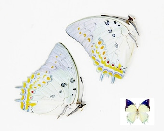 TWO (2) Polyura delphis concha - The Jewelled Nawab, Dry-Preserved Specimens, Entomology Taxidermy Lepidoptera Butterflies