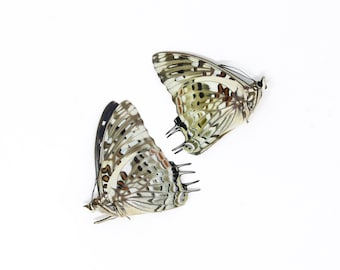 TWO (2) The Savannah Charaxes (Charaxes etesipe) Dry-Preserved Specimens, Entomology Taxidermy Lepidoptera Butterflies