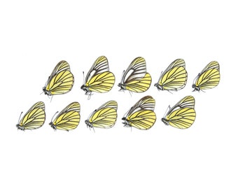 Ten (10) Oberthur's Black-veined White, Aporia bieti   A1 Unmounted Papered Butterflies   Taxidermy Entomology