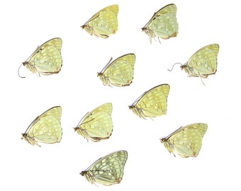 Ten (10) Great Purple Emperor Butterflies, Sasakia charonda, Unmounted Papered Butterflies, Specimens for Collecting, Art, Entomology