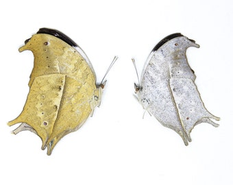 PAIR of Clouded Mother of Pearl Butterflies, Protogoniomorpha anacardii duprei, Unmounted Papered Butterflies, Collecting, Art, Entomology