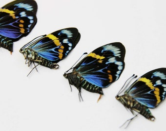 4 x Blue Day-flying Moths   Eterusia repleta   Dry-preserved Unmounted Specimens