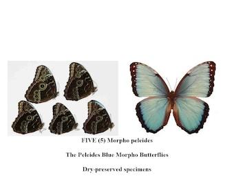 FIVE (5) Morpho peleides   Blue Morpho Butterflies Peru   Dry-preserved unmounted specimens