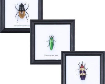 Set of 3 Beetles Framed | Ethical Insect Specimens Mounted Under Glass in Wall Hanging Frames 4.75 x 4.75 inches.