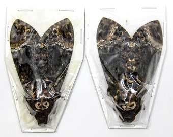 2 x Real Deaths Head Hawk Moths (Acherontia lachesis), Ethical Preserved Specimens, The Silence of the Lambs Movie Props