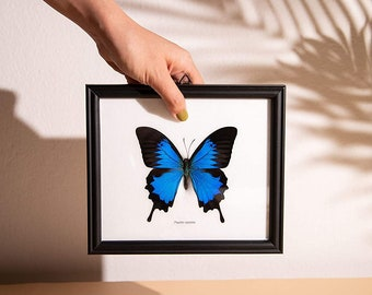 The Blue Swallowtail Butterfly (Papilio ulysses) Mounted in a Wall Hanging Frame, Taxidermy Home Decor, 8 x 7 inches
