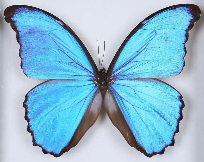 Featured listing image: TWO (2) Morpho didius A1 | Giant Blue Morpho Butterflies | Unmounted Papered & Set Specimens | Ethical Butterfly Specimens Taxidermy