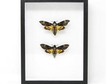 TWO Deaths Head Hawk Moths, Real Spread Specimens A1   Acherontia atropos & lachesis, Museum Entomology Box Frame   12x9x2 inch (#DH08)
