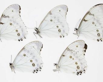 FIVE (5) Morpho polyphemus luna   White Morpho Butterflies   Dry-preserved specimens