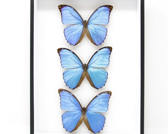 Real Blue Morpho Butterflies from Peru (Morpho menelaus) Pinned Specimens | Museum Entomology Box Frame | 12x9x2 inch