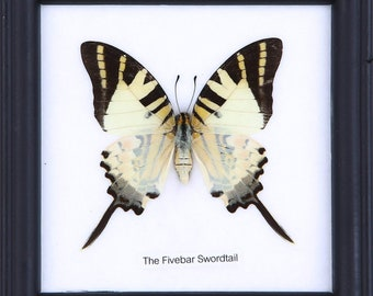 The Five-bar Swordtail (Graphium antiphates) | Real Butterfly Mounted Under Glass, Wall Hanging Home Décor Framed 5 x 5 In. Gift Boxed