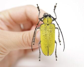 Celosterna pollinosa 44.6mm, A1 Real Beetle Pinned Set Specimen, Entomology Taxidermy #OC45