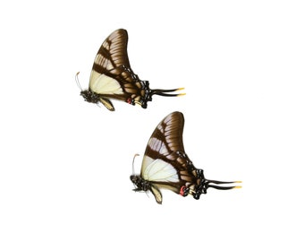 2 x Serville Kite Swallowatil   Eurytides serville   Dry-Preserved Unmounted Butterfly Specimens A1
