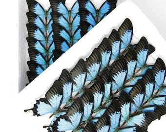 Blue Swallowtail   WINGS SPREAD   Papilio ulysses   A1 Set Butterfly Specimen Pinned in Box