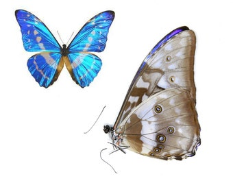 Colombian Electric Blue Butterfly | Morpho cypris | Various grades to choose from. Free shipping