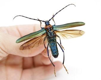 Aphrodisium faldermannii, A1 Real Beetle Pinned Set Specimen, Entomology Taxidermy #OC44