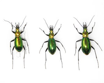 Set of Chrysocarabus splendens   Pinned Insect Specimens with Collection Data   Carabidae GREEN Ground Beetles Presented in a Gift Box