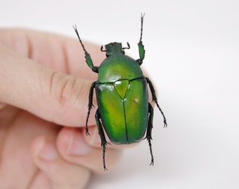Dicronorhina micans 38.2m, A1 Real Beetle Pinned Set Specimen, Entomology Taxidermy #OC52