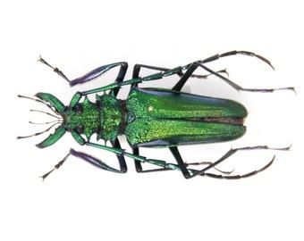 Psalidognathus friendii MALE Colombia, A1 Entomology Set Pinned Real Beetle Specimen #OC112