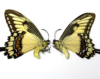 Two (2) Banded Swallowtail Butterflies, Papilio lycophron   Papered Unmounted Butterfly Specimens   Lepidoptera Entomology