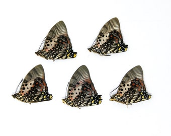 Five (5) The Shining Red Charaxes, Charaxes zingha, Unmounted Papered Butterflies, Specimens for Collecting, Art, Entomology, Study