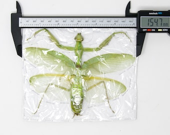 Insect Specimen from Thailand 2021 Green Mantis (A-/A2 Imperfect Specimen)