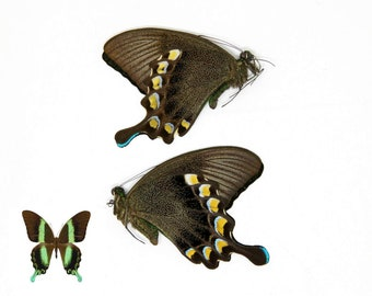 TWO (2) Papilio blumei The Green Swallowtail Butterfly, Dry-Preserved Unmounted Specimens, Entomology Taxidermy Lepidoptera Butterflies