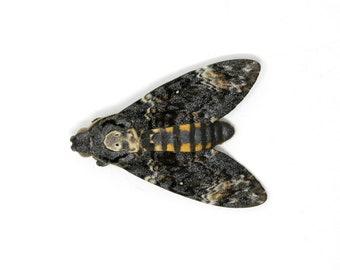 1 x Deaths Head Hawk Moth (Acherontia atropos) | Unmounted Ethical Specimen | The Silence of the Lambs