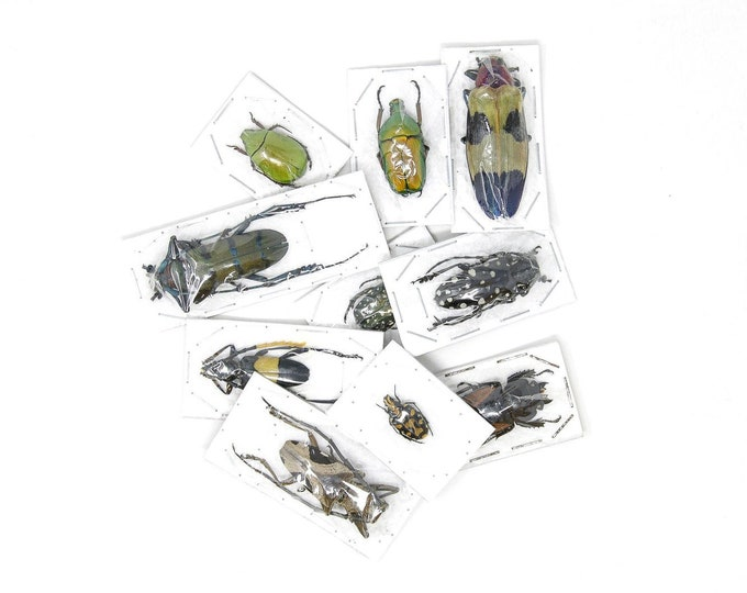Featured listing image: Pack of 5, 10, 25, 100 Assorted Beetles A1 | Unmounted Insect Specimens for Entomology