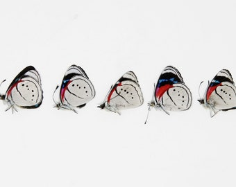 FIVE (5) Perisama euriclea    PERICLOUD BUTTERFLY   Dry-preserved specimens