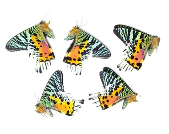 5 x Madagascan Sunset Moths A1   Chrysiridia rhipheus   Unmounted Real Specimens for Entomology