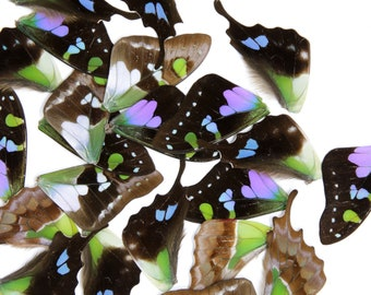 Loose Butterfly Wings (24) Purple Spotted Swallowtail (Graphium weiskei) Real Insects for Artistic Creation
