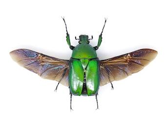 Torynorrhina flammea 34mm, A1 Real Beetle Pinned Set Specimen, Entomology Taxidermy #OC56