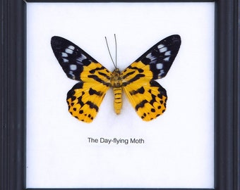 The Day Flying Moth (Dysphania subrepleta) | Real Butterfly Mounted Under Glass, Wall Hanging Home Décor Framed 5 x 5 In. Gift Boxed