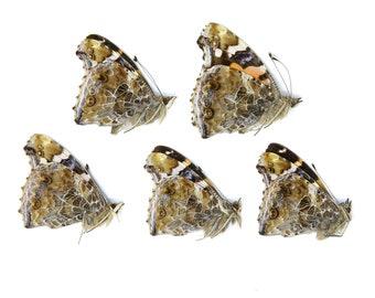 Five (5) Indian Red Admiral Butterflies, Vanessa indica, Unmounted Papered Butterflies   Entomology Specimens