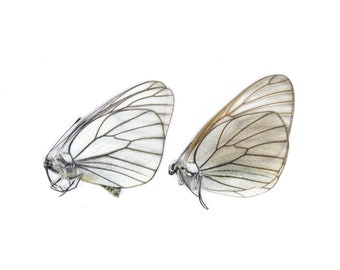 Two (2) Black-veined White PAIR, Aporia crataegi   Unmounted Papered Butterflies   Entomology Specimens