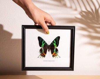 The Madagascar Sunset Day-Flying Moth (Chrysiridia rhipheus) Ethical Butterfly in Frame 8 x 7 inches. Gift Boxed