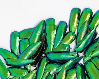 600 Jewel Beetle Wings | FREE SHIPPING | Sternocera aequisignata | Iridescent Wing Case Ethically sourced