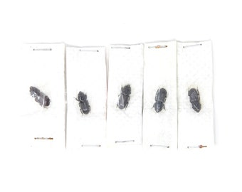 Five (5) Figulus regularis, Unmounted Beetle Specimens with Scientific Collection Data, A1 Quality