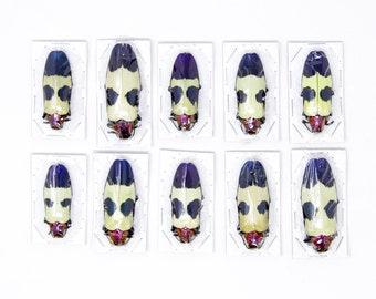 10 x Red Speckled Jewel Beetles | Chrysochroa buqueti rugicollis | A1 Entomology Specimens, WHOLESALE